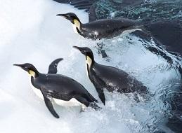 皇帝ペンギンただいま6.jpg