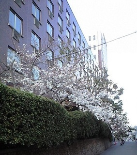 20190403の桜.JPG