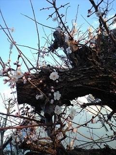 20200217早すぎる桜の開花.JPG