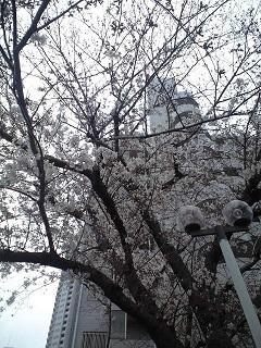 20200328桜咲きました.JPG