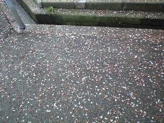 20200418散った桜.JPG