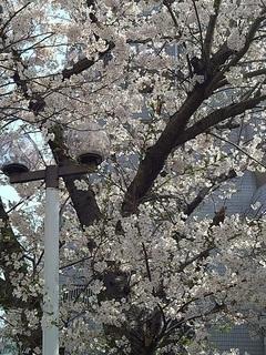 20210329桜が咲いている1.JPG