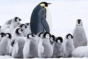 皇帝ペンギンただいま1.jpg