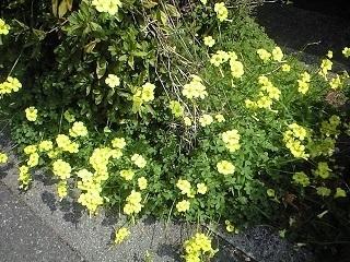 道路わきの黄色い花.JPG