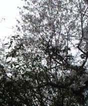 170406桜.JPG